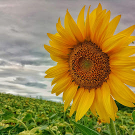 sun by Dražen Pintar - Instagram & Mobile Android ( clouds, mobilography, skyline, green, sunflower,  )