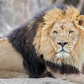 by James Eveland - Animals Lions, Tigers & Big Cats ( mammals, jeveland photos, zoo photos, lions )