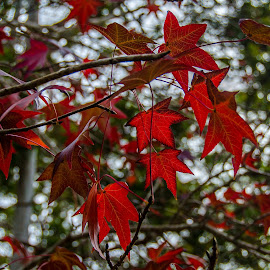 Maple Red by Kim Stecina - Nature Up Close Trees & Bushes ( red, nature, tree, silhouette, upclose, leaf, leaves, maple )
