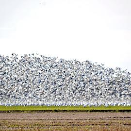 Snow Geese by Jaliya Rasaputra - Animals Amphibians