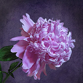 EXQUISITE by Sharon Pierson - Nature Up Close Flowers - 2011-2013 ( peony pink purple bloom exquisite, flower, nature, flowers )
