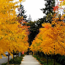 Golden yellow leaves of Autumn  by LaDonna McCray - Nature Up Close Trees & Bushes ( washington, autumn leaves, fall, trees, yellow, leaves, golden )