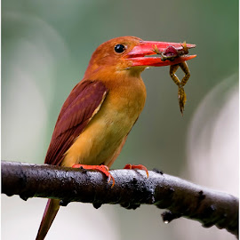 Ruddy Kingfisher by Suraj Ramamurthy - Animals Birds ( #bida, #singapore, #rudy, #kingfisher, #nikond4, #nikkor500mm )