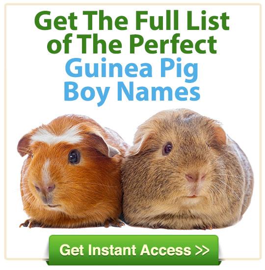 boy pet guinea pig names