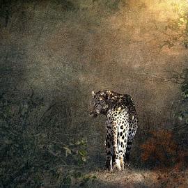 Big Boy by Bjørn Borge-Lunde - Digital Art Animals ( wild animal, cats, big cat, wilderness, animals, nature, wildlife, africa, leopard )