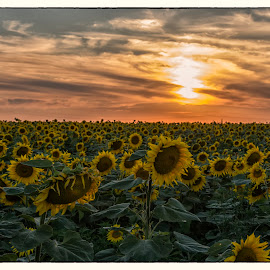 Sunflowers sunset by Vanja Vidaković - Landscapes Sunsets & Sunrises
