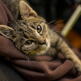 Little cat posing by Томислав Лукић - Animals - Cats Portraits ( pet lovers, cats, chair, cat, cat lover, caat portrait, pet, laying, lazy, catsofinstagram, photography, animal,  )