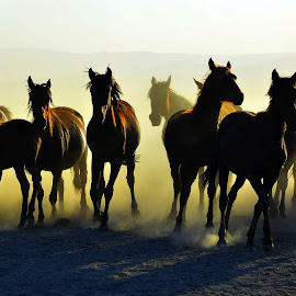 area of freedom by Mustafa Tor - Animals Horses ( horses, freedom )