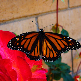 MOnarch Butterfly on a Red Rose by Jacob Woolwine - Novices Only Wildlife ( butterfly, bush, jacob, flower )
