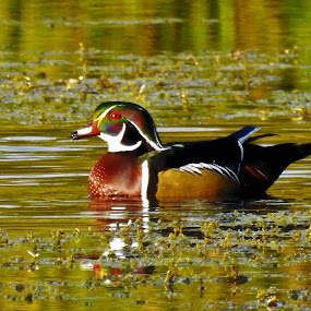 Colorful Pose by Kathy Woods Booth - Animals Birds ( reflection, park, fowl, duck, reflections )