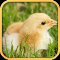 Real Chicken Simulator APK for Bluestacks