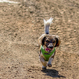Miss Mazie by Judy Heitzman - Animals - Dogs Running