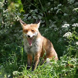 The Yawn by Sharon Bennett - Animals Other ( wild, animals, wild life, red, fox, nature, fur, wildlife, natural, animal, red fox )