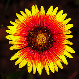 blanket flower by David Winchester - Flowers Flowers in the Wild (  )