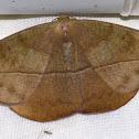 Leaf Mimic Moth