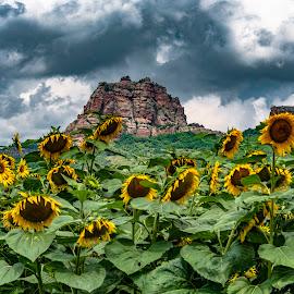 by Venelin Dimitrov - Flowers Flower Gardens ( sky, big, solid, large, rocks, nature, plant, golden, sunflower, summer )