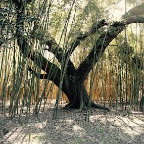 Oak and Bamboo by Tiffany Matt - Nature Up Close Trees & Bushes (  )