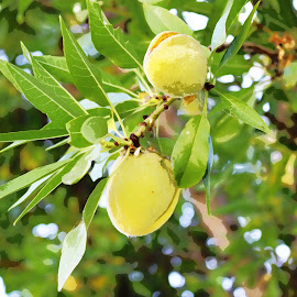 Almond Tree by Gaye Charles - Digital Art Things ( almond, fruit, almonds, tree, green, nuts, nut, bloom, leaves, digital, digitalized, produce )