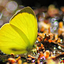 TREE YELLOW BUTTERFLY