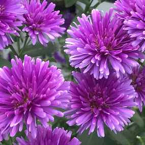 Flowers in the garden by Alesanko Rodriguez - Flowers Flower Gardens ( plant, season, nature, summer, botanical, flowers, garden, close-up, floral )