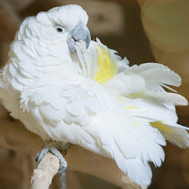 Cockatoo by Sandra Hilton Wagner - Animals Birds ( bird, perched, cockatoo, beak, white, feathers, eye, profile, animal )