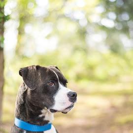 Wicki 1 by Jennifer Wollman - Animals - Dogs Portraits ( pet photography, dogs, boxer, dog portrait, animal )