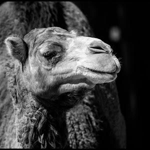 Camel-5.jpg