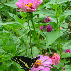 Black Monarch Butterfly by Kimberly Gibson - Animals Insects & Spiders ( monarch butterfly, butterfly, landscape, flowers, flower photography )