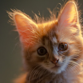 Pernille by Espen Rune Grimseid - Animals - Cats Portraits ( kitten, closeup, cat, animal, canon,  )