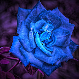 by Darrell Tenpenny - Digital Art Things ( rose, blue, digital art, roses, flower )