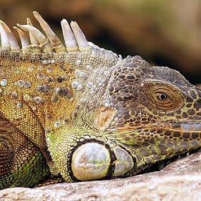 by Gesit Pinanjaya - Animals Reptiles