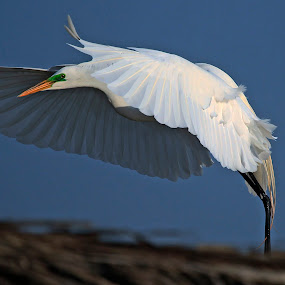 Great Egret flying by Cristobal Garciaferro Rubio - Animals Birds ( water, flying, white bird, wings, pwcmovinganimals, egret, great egret )