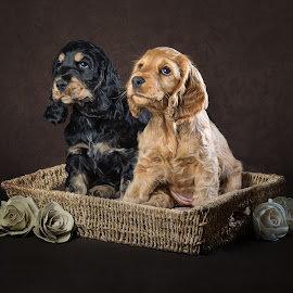 Two Eight Week Old Spanials by Linda Johnstone - Animals - Dogs Puppies ( spanials, soft ears, puppies, animals, dogs, brown dog, pets, puppies in basket, fur, dark background, cute )