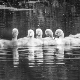 Cygnets by Garry Chisholm - Black & White Animals ( barnwell, cygnet, swan, bird, wildlife, garry chisholm )