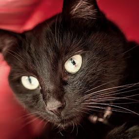 The Black Cat by Sabrina Campagna - Animals - Cats Portraits ( 18-35, cat, kitten, animals, animale domestico, art, gatto, yellow, close up, nero, portrait, eyes, cats, d810, sigma, pet, photographer, nikon, ritratto, kitty, black, sabrina campagna, animal,  )