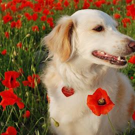 Dog in a poppy field by Simona Serdiuc - Animals - Dogs Portraits ( pet portrait, poppy field, pet, white dog, dog )