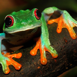 Agalychnis callydrias 2 by Gérard CHATENET - Animals Amphibians