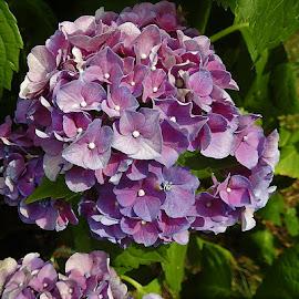 Hydrangea in lavender by Mary Gallo - Flowers Flower Gardens ( nature up clsoe, backyard flower, lavender hydrangea, nature, garden flower, hydranea, flower, flower bush,  )