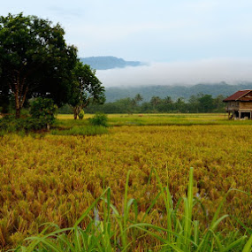 A rice field by Hitler Tombaan - Landscapes Prairies, Meadows & Fields ( field, sorowako, rice, nature, indonesia, south sulawesi, harvest, heatlarx )