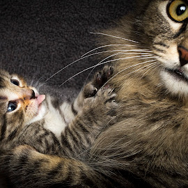 Handful by Eric Christensen - Animals - Cats Kittens ( kitten, tongue, poly, rescue, tabby )