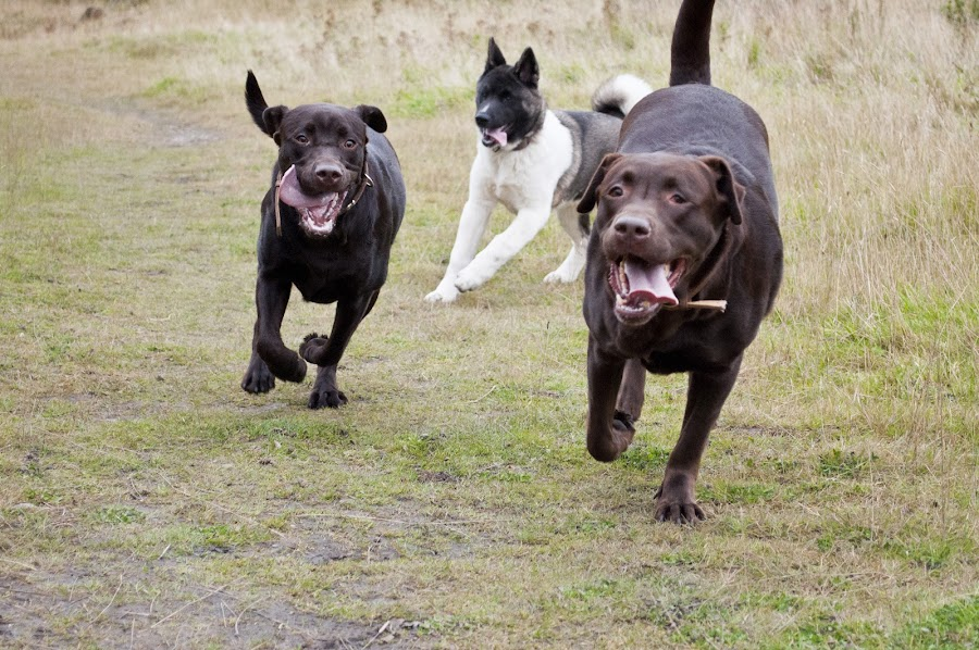 by Beth Alexander - Animals - Dogs Running ( bear, pups, grass, pup, labrador, running, akita, puppies, free, happy, tongues, puppy, dog )