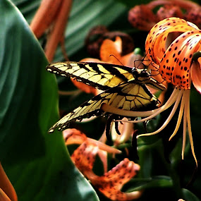 Tiger Lily and Butterfly by Christy Leigh - Animals Insects & Spiders ( orange, tiger butterfly, butterflies, lily, green, yellow, flowers, buitterfly, tiger lily, floral )