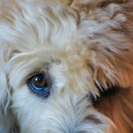 Millie Bean by Gary Wahle - Animals - Dogs Portraits ( soft coated wheaten terrier, dog portrait, close up, eyes,  )