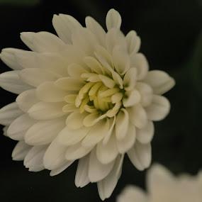 flower by Jade Bracke - Flowers Flower Gardens ( macro, flowers, garden, photoraphy )