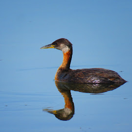 Reflection of a grebe by Chris Bertenshaw - Animals Birds ( water, reflection, grebe, lake )