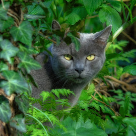 on the prowl by Chrissy Woodhouse - Animals - Cats Portraits ( grey cat, hunting, feline )