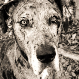 Molly by Jacque Raines - Animals - Dogs Portraits ( great dane dog canine black white,  )