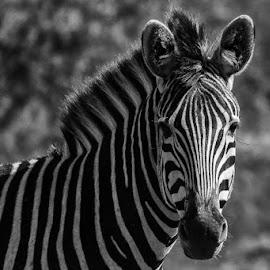 Zebra by David Botha - Black & White Animals ( zebra   · )