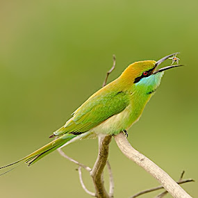 Bee Hunter by Srikanth Iyengar - Animals Birds