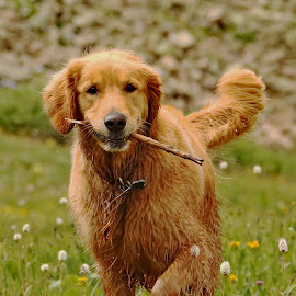 Stick It! by Kari Schoen - Animals - Dogs Playing ( canine, fetch, mountains, colorado, dog, hiking, golden retriever )